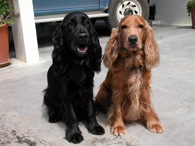 English Cocker Spaniel Pics