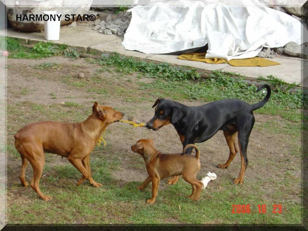 German Pinscher's playing