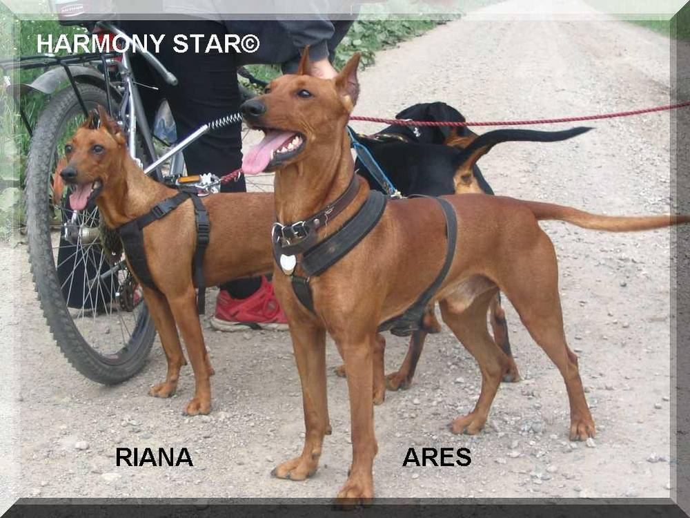German Pinscher's ready for walk
