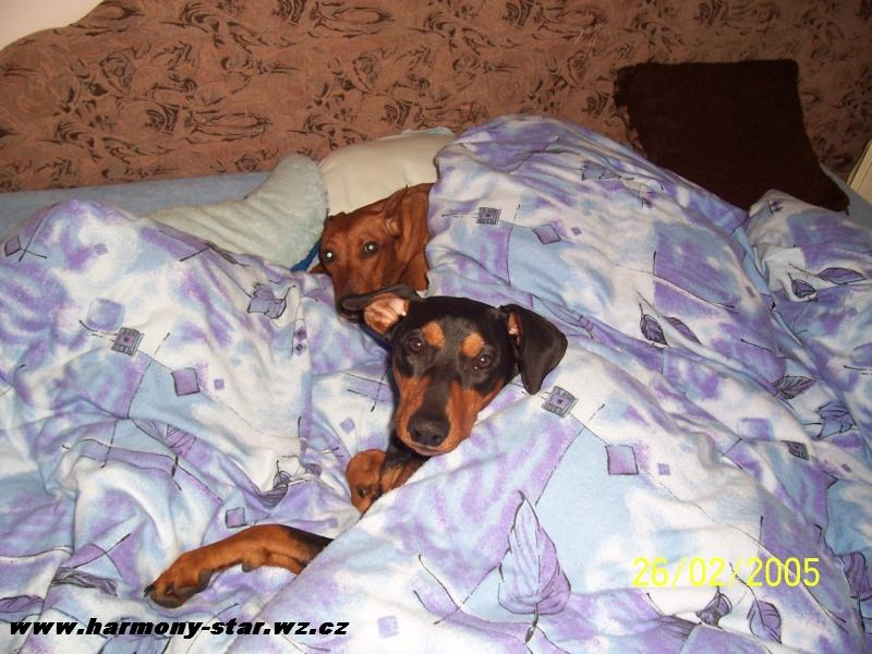 German Pinscher in bed
