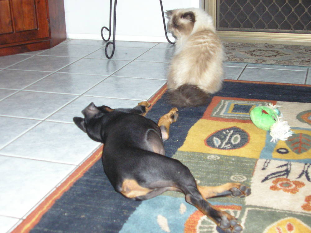German Pinscher playing with cat