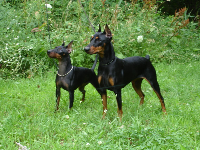 German Pinscher's staring