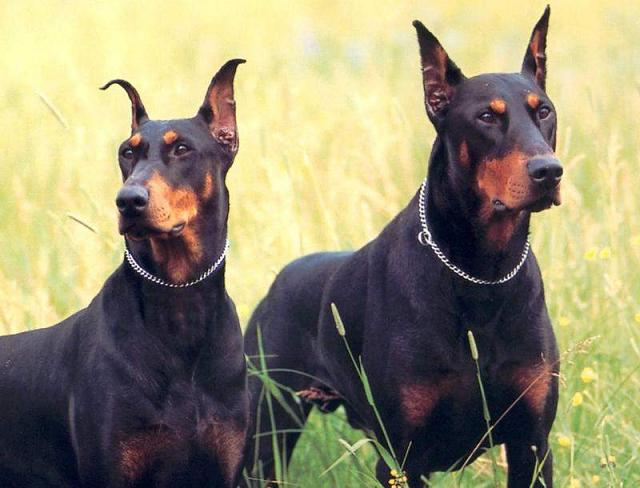 German Pinscher's with ears up