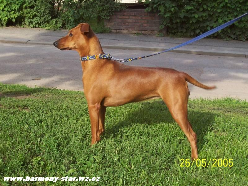 German Pinscher posing