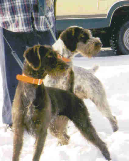 German Wirehaired Pointers (2 of them)