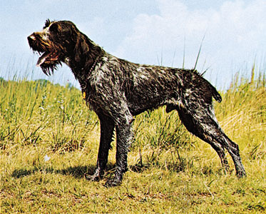 German Wirehaired Pointer Looking Regal