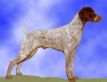 German Wirehaired Pointer Posing for a Sideshot