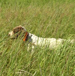 German Wirehaired Pointer Out in the Field