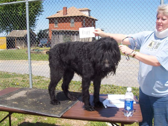 Giant Schnauzer on table