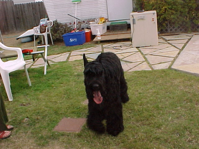 Giant Schnauzer with tongue out