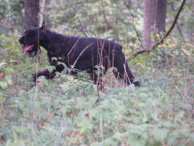 Giant Schnauzer walking through woods