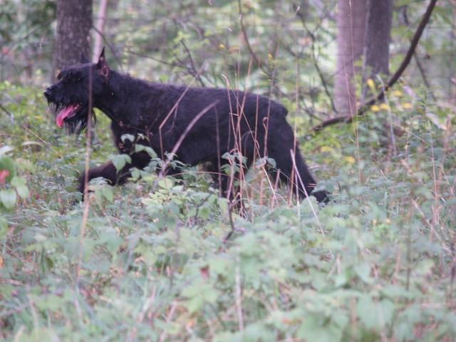 Giant Schnauzer walking through woods