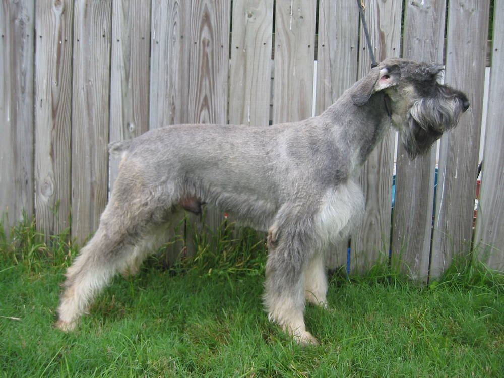 Giant Schnauzer in front of fence