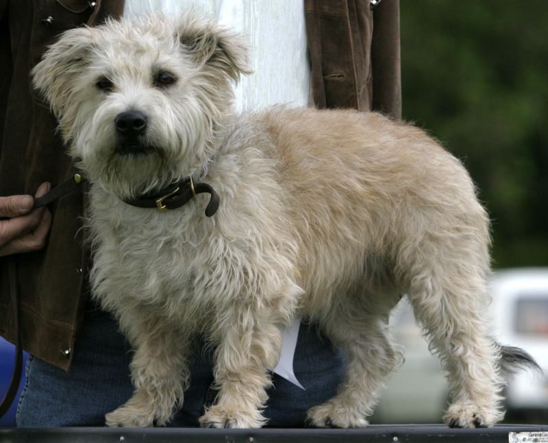 Glen of Imaal Terrier staring