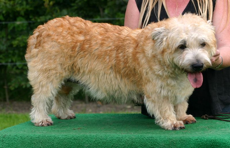 Glen of Imaal Terrier with orange back