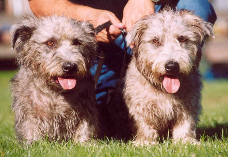 Two Glen of Imaal Terrier's with tongues out