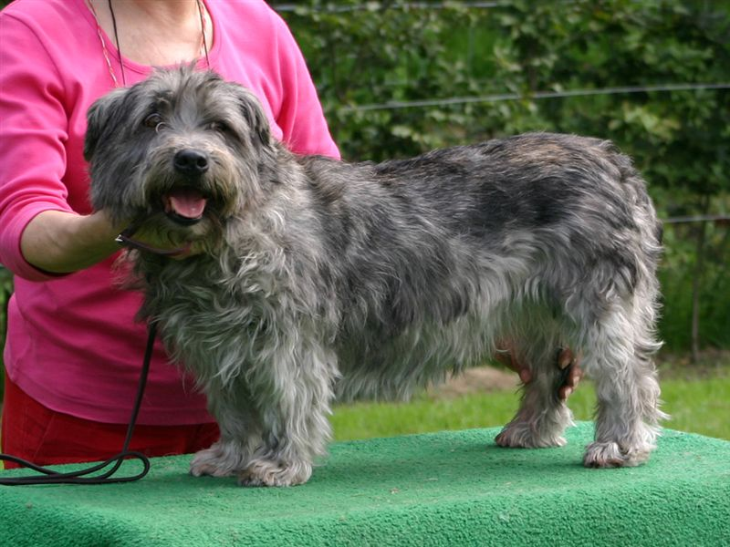 Black and gray Glen of Imaal Terrier