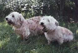 Two Glen of Imaal Terrier's in grass