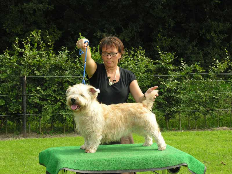 Glen of Imaal Terrier being showed