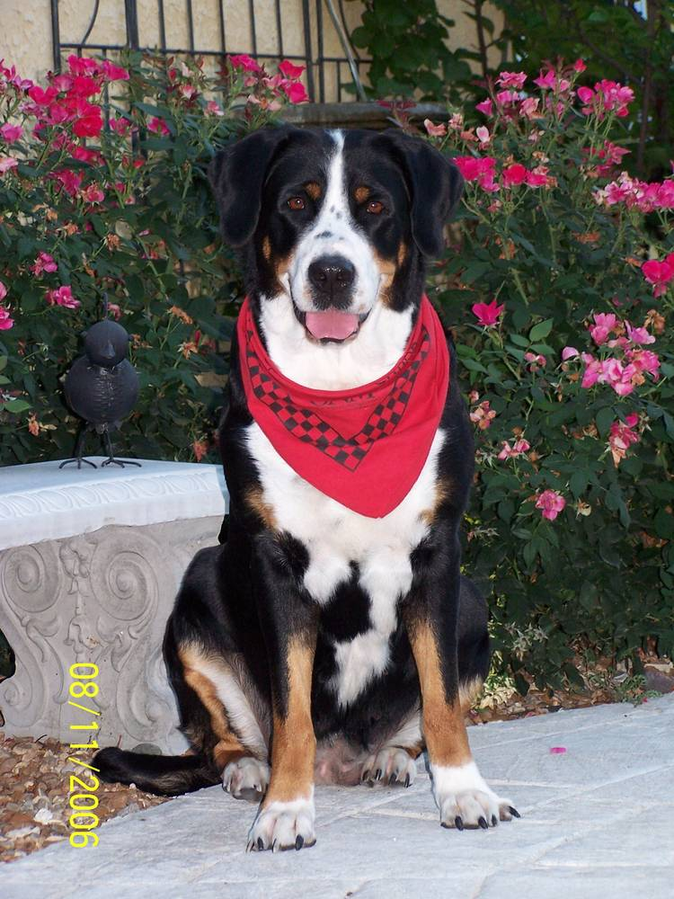 Greater Swiss Mountain Dog with scarf