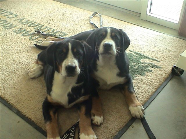 Greater Swiss Mountain Dog's relaxing on rug