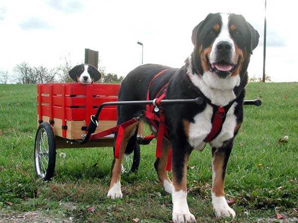 Greater Swiss Mountain Dog pulling puppy