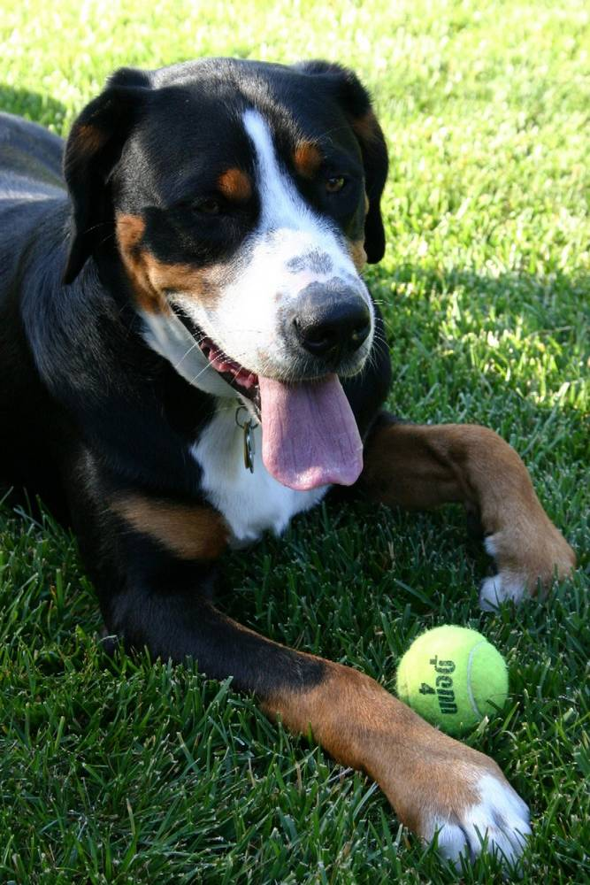 Greater Swiss Mountain Dog with tongue out