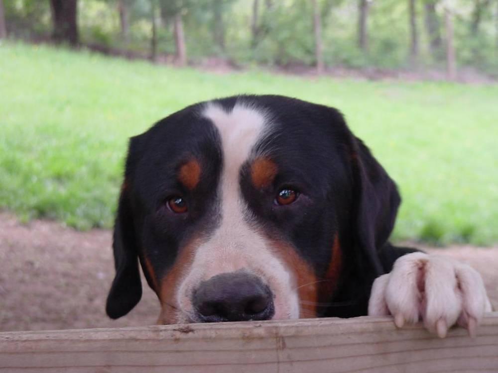 Greater Swiss Mountain Dog peeking