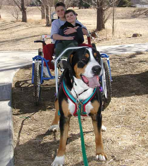Greater Swiss Mountain Dog pulling people