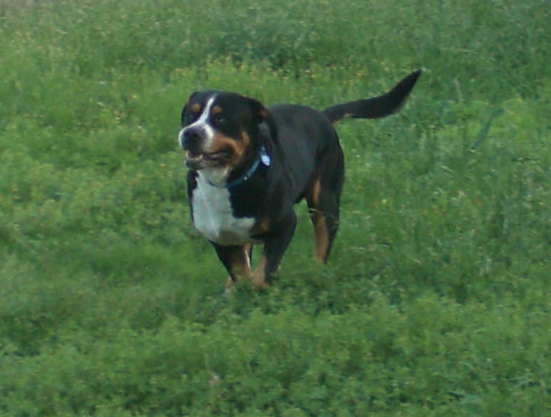 Greater Swiss Mountain Dog running in grass