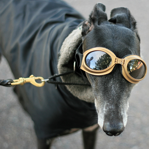 Greyhound with glasses and jacket