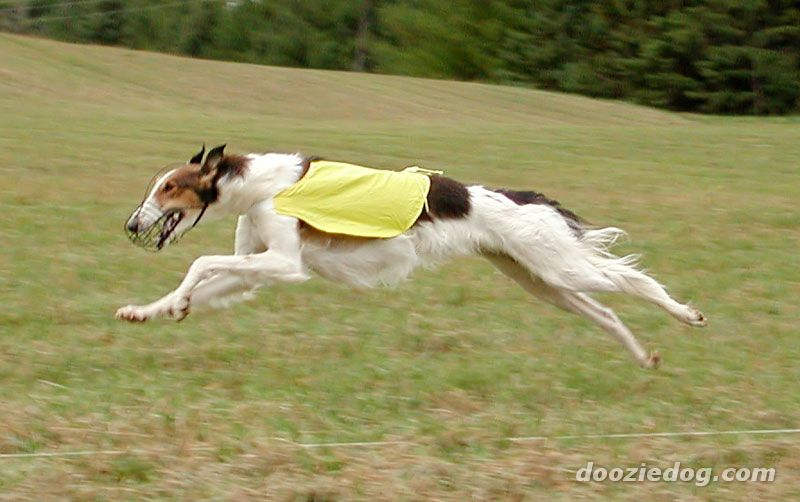 Greyhound flying