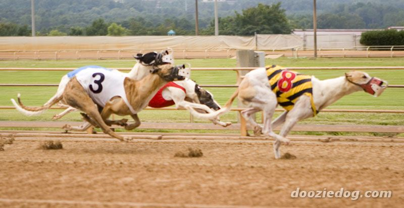 Greyhound's racing