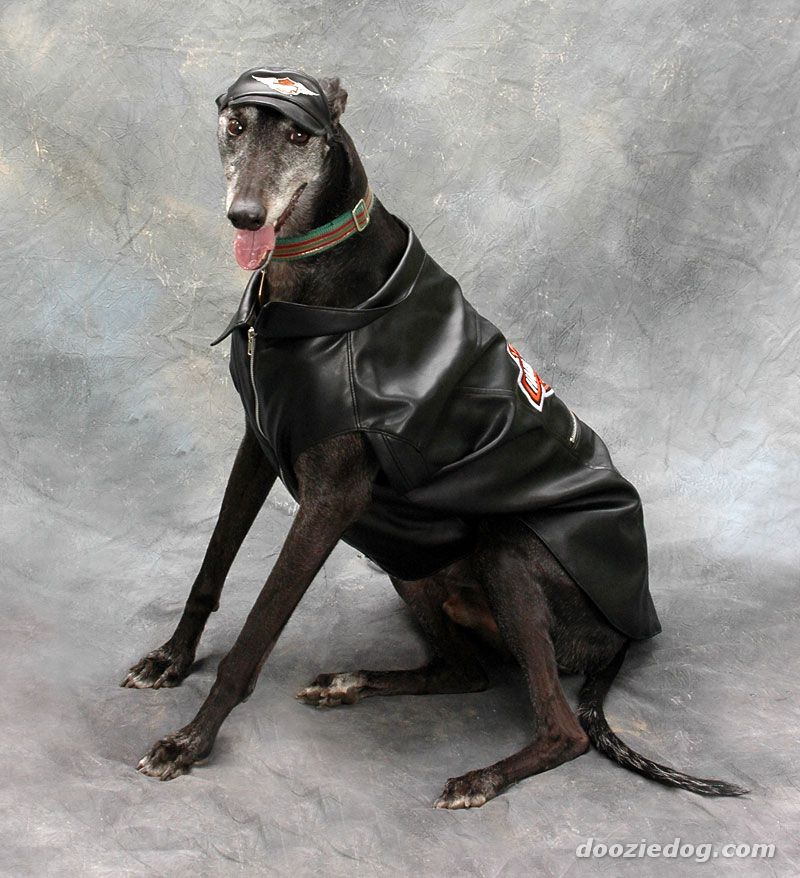 Greyhound all dressed up