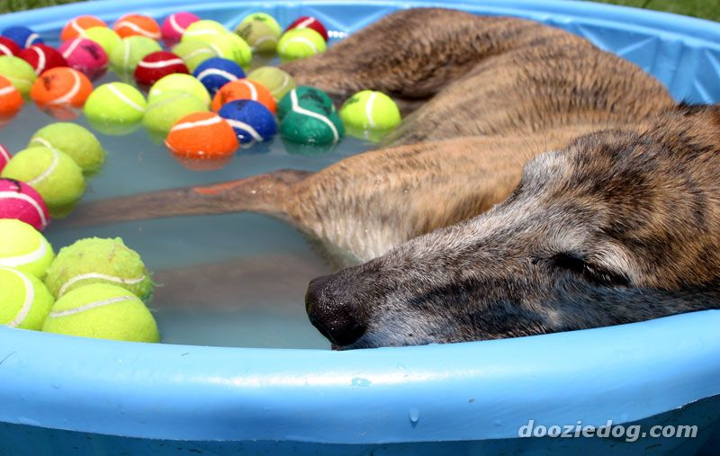 Greyhound swimming in kiddie pool