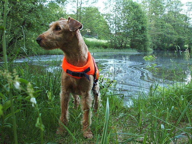 Irish Terrier in front of pond