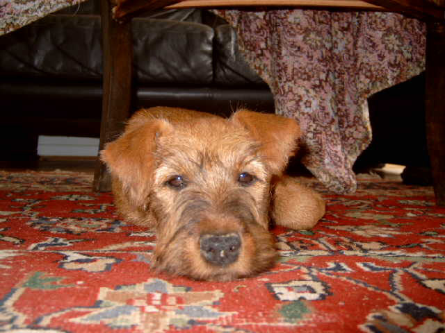 Irish Terrier sulking
