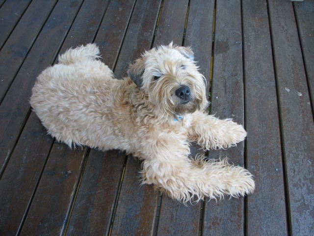 Irish Terrier laying on a deck