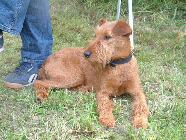 Irish Terrier laying in the grass