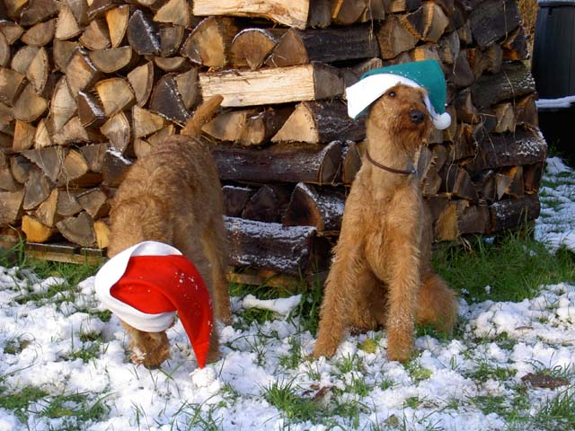Irish Terrier's playing in snow