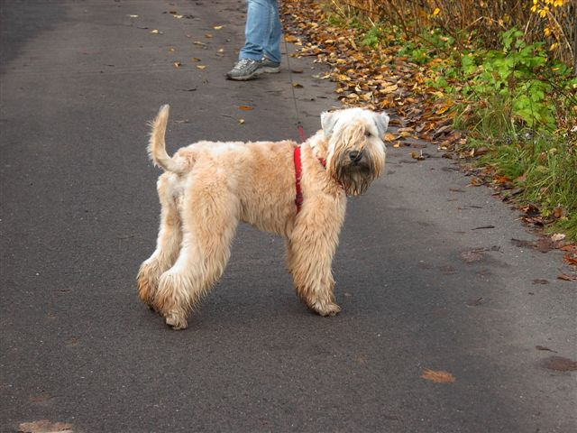 Irish Terrier looking back