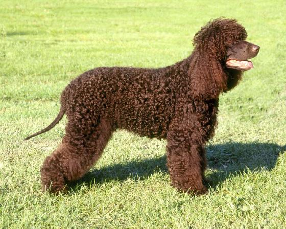 Irish Water Spaniel smiling in grass