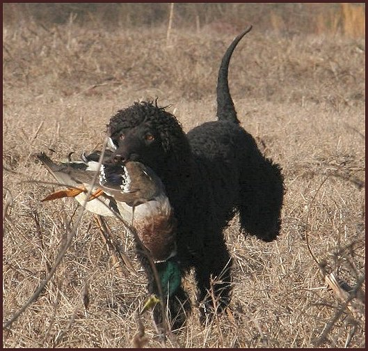 Irish Water Spaniel with duck in mouth
