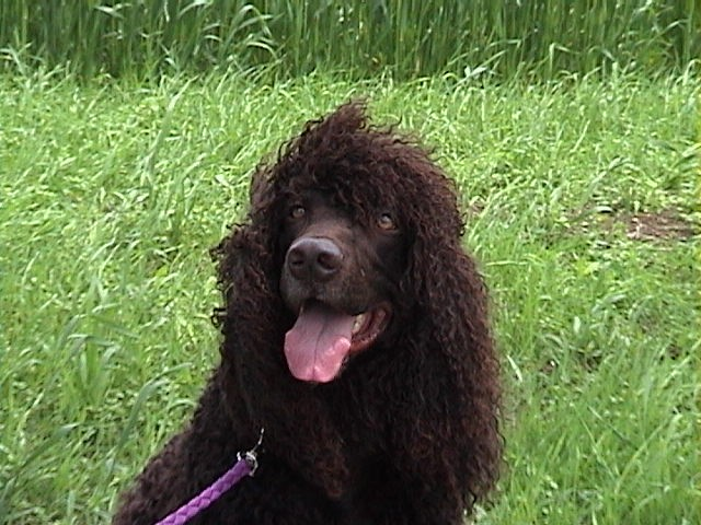 Irish Water Spaniel with tongue out