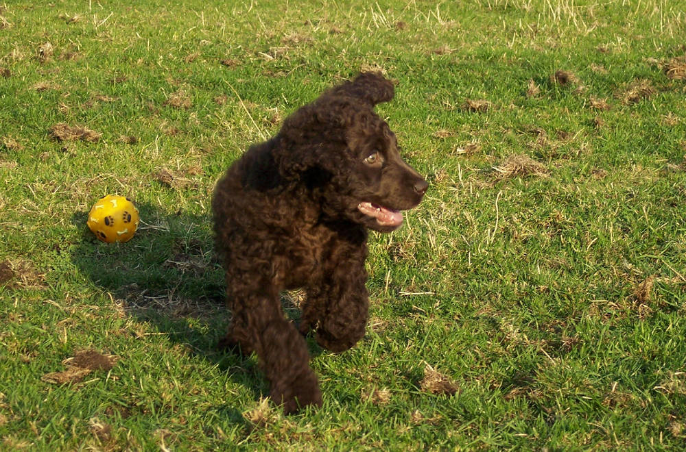Irish Water Spaniel playing with ball