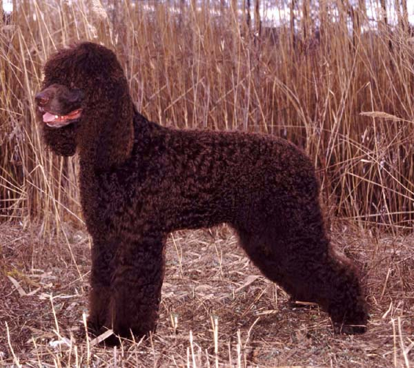 Irish Water Spaniel standing in field