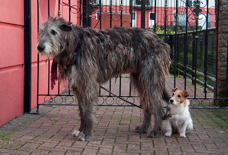Irish Wolfhound Dog Breed Information, Puppies & Pictures