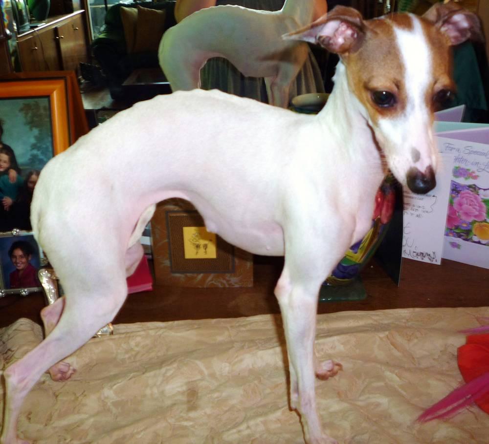 This is my Italian Greyhound, Dutchess.
