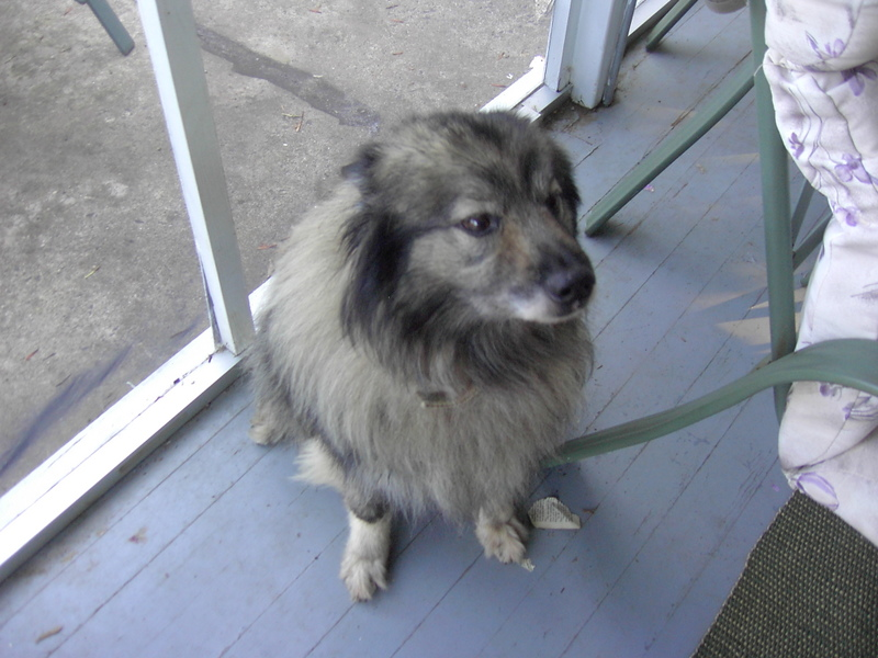 Keeshond waiting by door