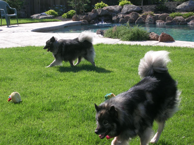 Keeshond's playing in grass